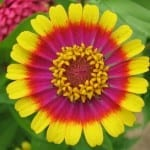 Baby Name of the Day: Zinnia