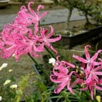 Baby Name of the Day: Nerine
