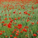 Poppy: Baby Name of the Day