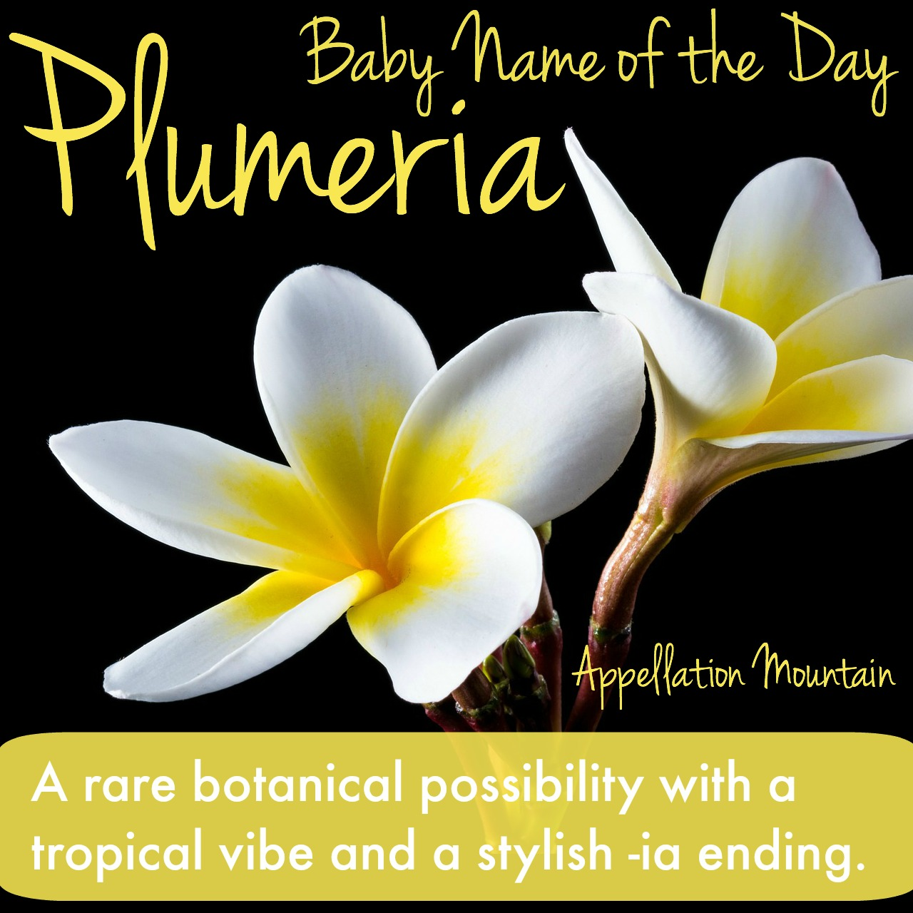 plumeria baby name of the day  appellation mountain, Natural flower